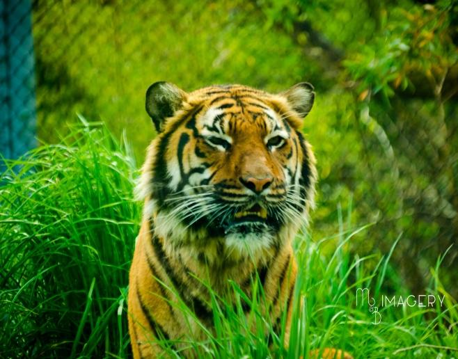 Malaysian Tiger 2