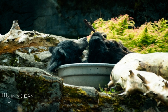 Sloth Bear In Tub