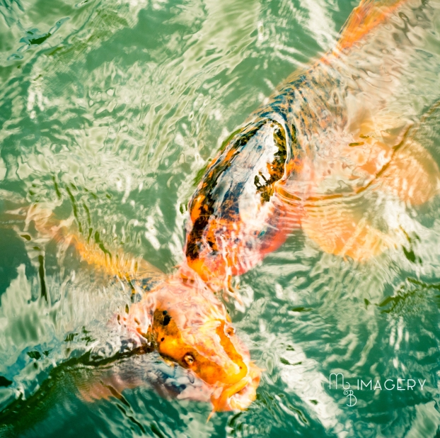 Two Koi, Japanese Garden